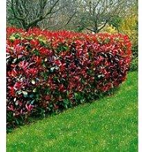Photinia-Hecke 'Red Robin'