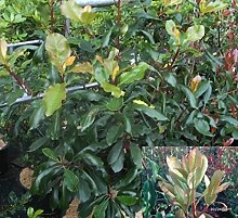 Photinia serratifolia - Chinesische Glanzmispel -