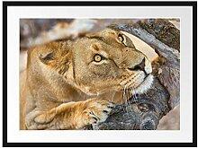 Picati anpirschende Löwin Bilderrahmen mit