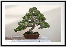 Picati Bonsai Baum Bilderrahmen mit
