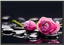 Picati Rosa Rosenblüte Hintergrund im