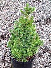 Picea glauca conica - Zuckerhutfichte, gelieferte