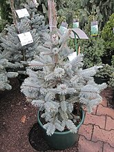 Picea pungens 'Hoopsii' - Silber-Fichte