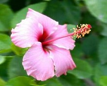 Pinkdose 100 Riesen-Hibiskus-Blumensamen Hardy,