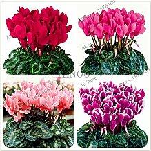 Pinkdose 100pcs / bag Cyclamen Garten, bunte