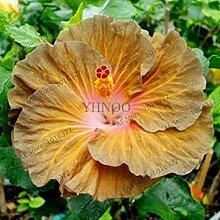 Pinkdose 100pcs / bag Hibiskus-Blume Bonsai, DIY