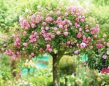 Pinkdose 100pcs / bag Rosenbaum stieg Bonsai-Baum