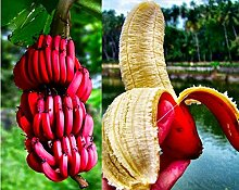 Pinkdose 100pcs / bag rote Banane Samen, sehr