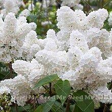 Pinkdose 100pcs Bonsai Weißen Flieder Pflanze