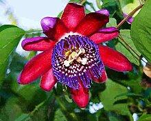 Pinkdose 100pcs Passionsblume Pflanze Topf Bonsai