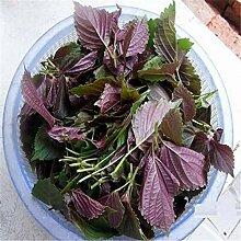 Pinkdose 100pcs purpurrotes Basilikum Samen -