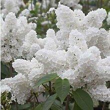 Pinkdose 100pcs Weiß Japanischer Flieder Pflanze