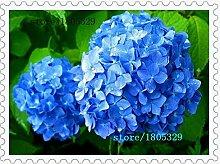 Pinkdose 10pcs / bag Blauer Hydrangea-Blumensamen