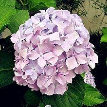 Pinkdose 10pcs Hydrangea Paniculata & Vanille