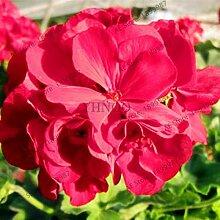 Pinkdose 110pcs / bag Geranie plantas Perennial