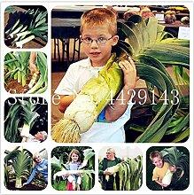 Pinkdose 150 Stück Aloe Vera Bonsai Sukkulenten