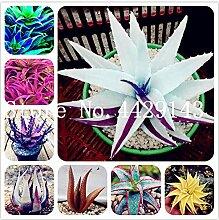 Pinkdose 150 Stücke Aloe Vera Bonsai