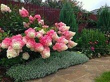 Pinkdose 20 PC/bag Hydrangea paniculata & # 39;