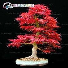 Pinkdose 20 Stück Bonsai Regenbogen Ahorn Baum