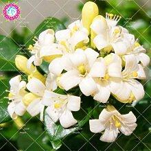 Pinkdose 20 STÃœCKE Murraya Paniculata pflanze