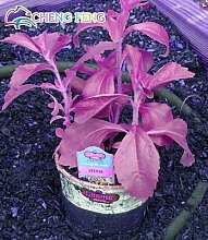 Pinkdose 200pcs 7 Mix Farbe Stevia Kräuter