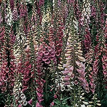 Pinkdose 200pcs Fritillaria Fingerhut Digitalis
