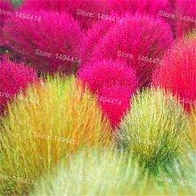 Pinkdose 200pcs Kochia scoparia Bonsai Gras