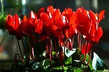 Pinkdose 2016 weiß rot Rand Cyclamen Blume