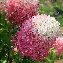 Pinkdose 20pcs / bag Hydrangea paniculata Pflanze