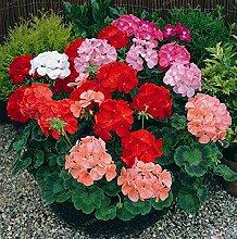 Pinkdose 20pcs Hydrangea paniculata & # 39;