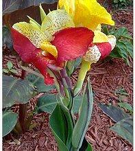 Pinkdose 5 Korn/Canna Blumensamen schöne