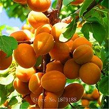 Pinkdose 5 Stück/bag Aprikosenbaum-Samen hohe