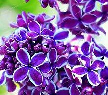 Pinkdose 50 Bunte Bonsai-Flieder-Pflanze