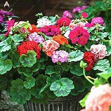 Pinkdose 50 Stück Seltene Geranienpflanze