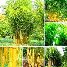 Pinkdose 50 Stück Bambus Bonsai Phyllostachys