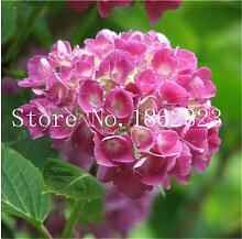 Pinkdose 50Pcs Kletter-Hortensie Bonsai, Hydrangea