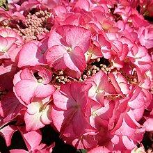 Pinkdose 50pcs Kletterhortensie Bonsai, Hortensie