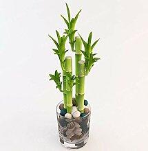 Pinkdose 50Pcs Lucky Bamboo Bonsai, kleine