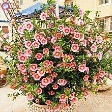 Pinkdose 600pcs / bag japanische Stevia Pflanze,