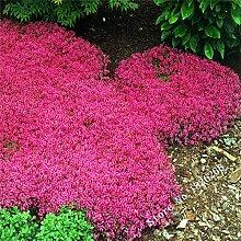 Pinkdose Blumen-Bonsais Creeping Thyme Bonsais
