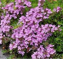 Pinkdose Blumensamen Creeping Thyme Samen oder