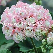 Pinkdose Bonsai 50 PC Bunte Geranium Bonsai