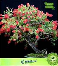 Pinkdose Callistemon Citrinus Seed