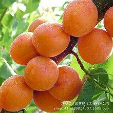 Pinkdose Direkte Aprikose Aprikosenbaum Basis mehr