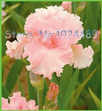 Pinkdose Echte grüne Dahlie-Blumenzwiebel,