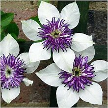 Pinkdose Farbe optional Gladiole Bonsai gepflanzt