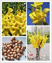 Pinkdose Gelbe Gladiole (nicht Gladiole-Bonsai),