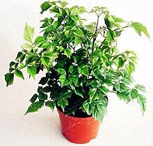 Pinkdose Hedera nepalensis 50pcs Bonsai Keine