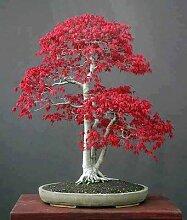 Pinkdose Japanische Rote Ahorn, Bonsai-Baum,