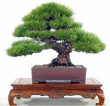 Pinkdose Kiefer Samen, Topf Bonsai Pinus